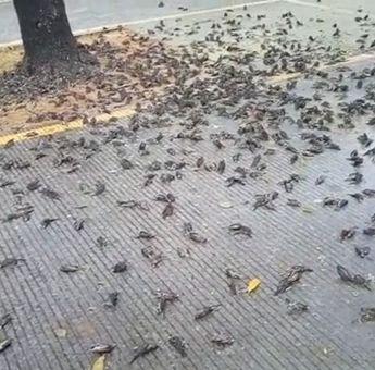 Fenomena Ratusan Burung Pipit Mati di Cirebon, Diduga Karena Cuaca Ekstrem