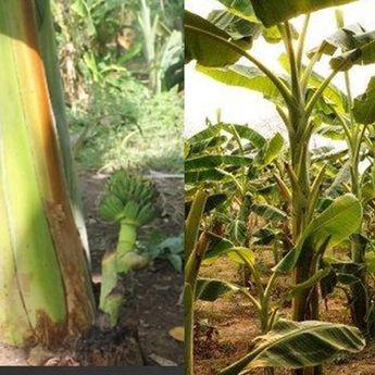 Ini 5 Manfaat Batang Pohon Pisang, Salah Satunya Cegah Batu Ginjal
