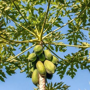 Awas! Tanam Pohon Pepaya di Pekarangan Rumah Bisa Datangkan Sial