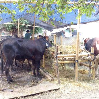 Penjualan Hewan Kurban di Kandang 'Sapi Bro' Tahun Ini Membeludak