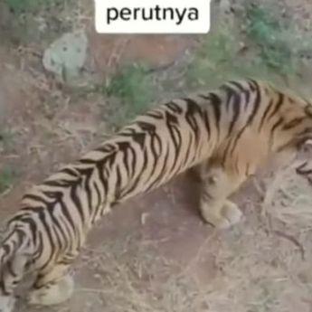 Viral Video Harimau Dengan Perut Kempis, Dokter: Masih Dalam Kewajaran