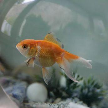 Berbagai Tips Memelihara Ikan dalam Ilmu Fengshui untuk Menyambut Kekayaan