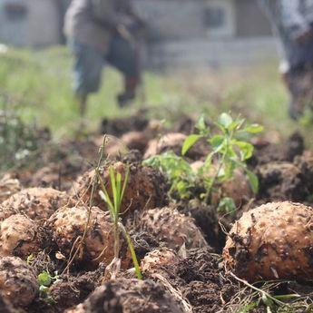 Porang, Umbi-Umbian Yang Sekarang Menjadi Primadona Petani di Boyolali