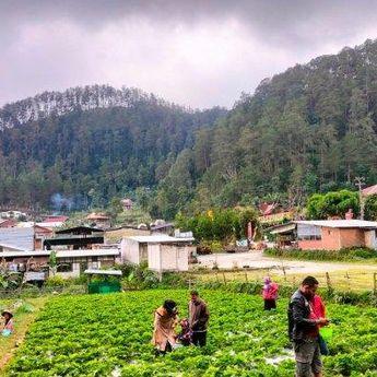 Wisata Petik Stroberi di Tawangmangu Karanganyar, Jadi Alternatif Refreshing bersama Keluarga