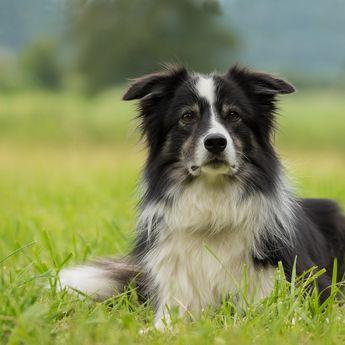 6 Jenis Anjing Pintar dan Lucu yang Bisa Kamu Adopsi di Rumah