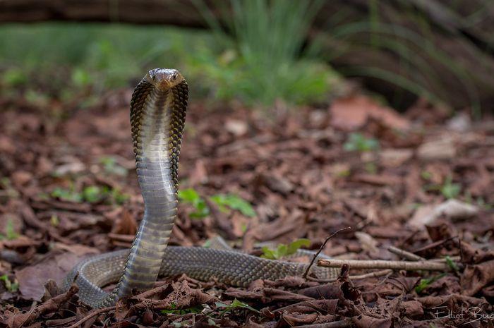Illustrasi Mengulik Fakta Mengenai Teror Ular Kobra Saat Musim Penghujan Tiba
