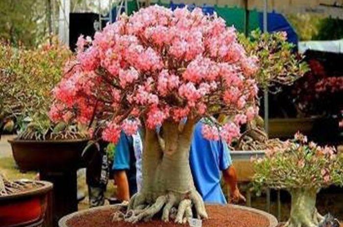 Bunga Adenium Arabicum