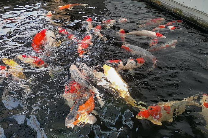 kolam ikan koi.