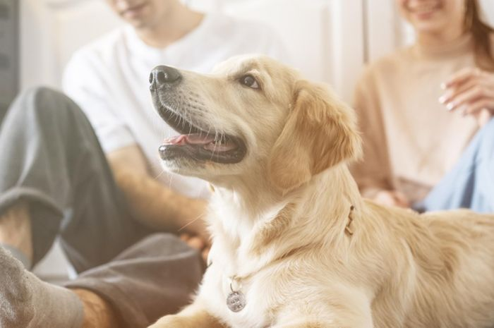 Ilustrasi anjing golden