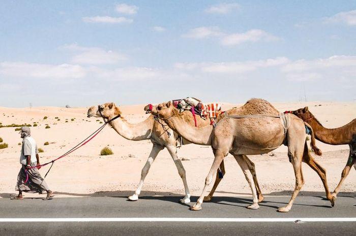Unta di Arab