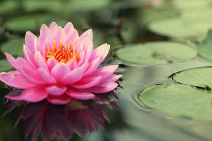 Illustrasi Bunga Teratai