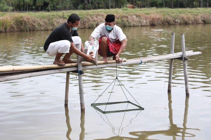 Petambak udang di Kabupaten Pinrang didorong menggunakan pakan simbiotik untuk meningkatkan produksi