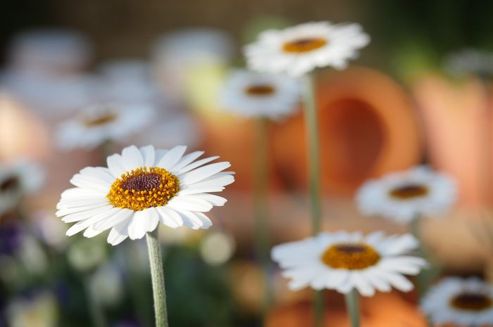 Ilustrasi Bunga Lili