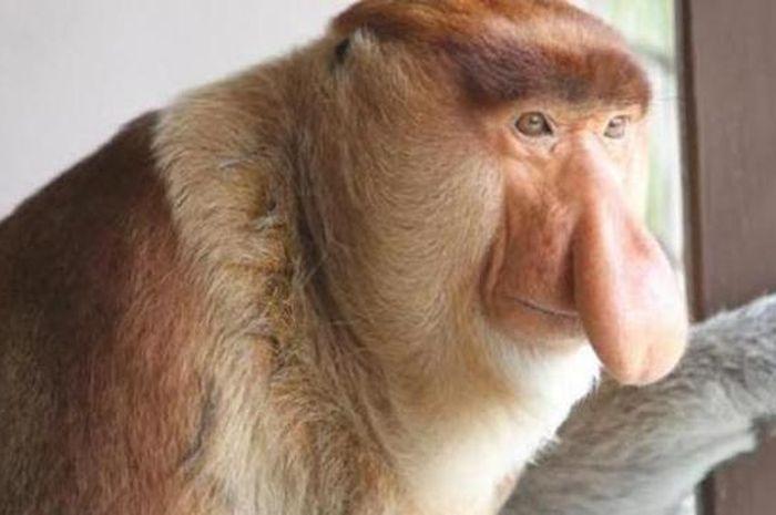 Bekantan, monyet berhidung panjang asli Pulau Bakut di Kalimantan Selatan.